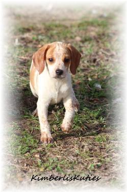 Yorkie Biewer Chinese Imperial Shih Tzu Scottish Terrier Breeders