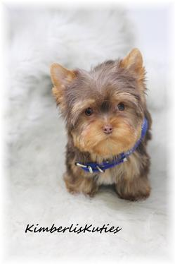 Yorkie, Biewer, Chinese Imperial Shih Tzu, Scottish Terrier