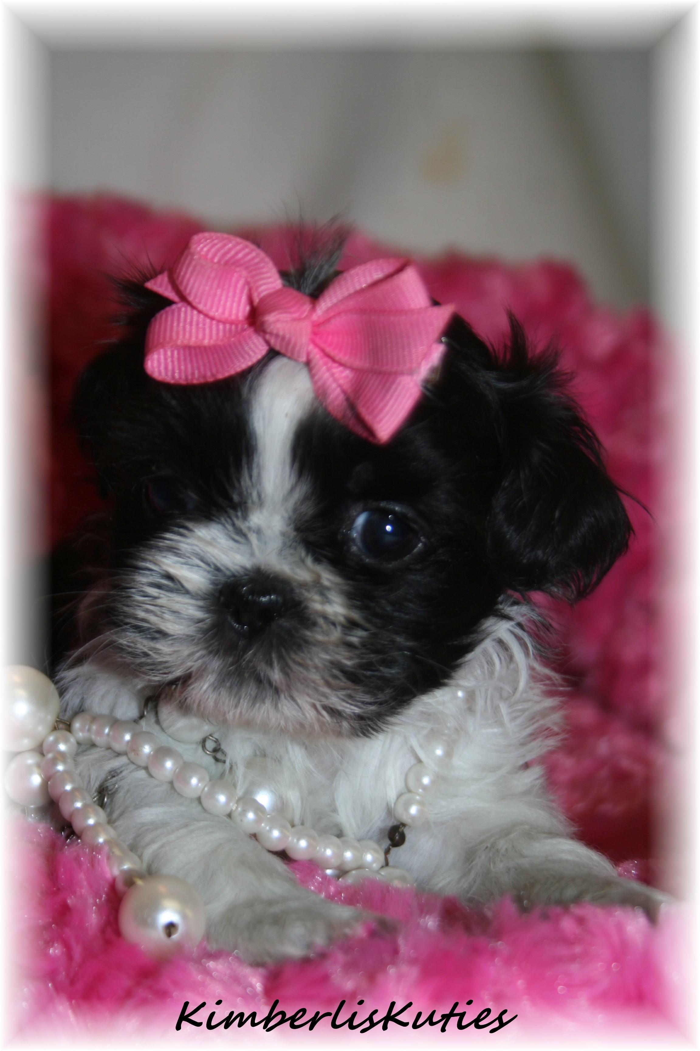 The gallery for --> Teacup Maltipoo Puppies Black Teacup Maltese Puppies