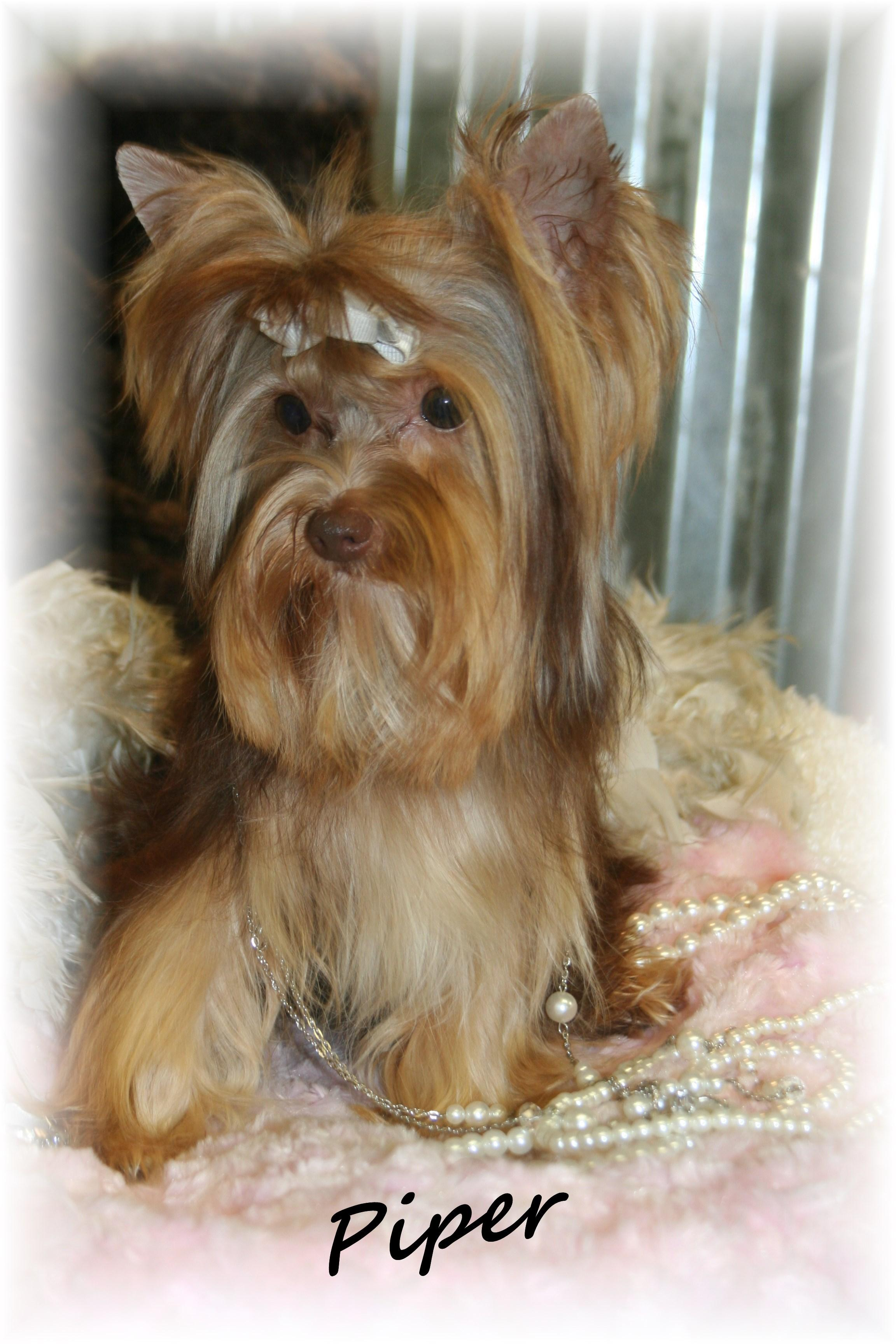 Yorkie Biewer Chinese Imperial Shih Tzu Scottish Terrier Breeders