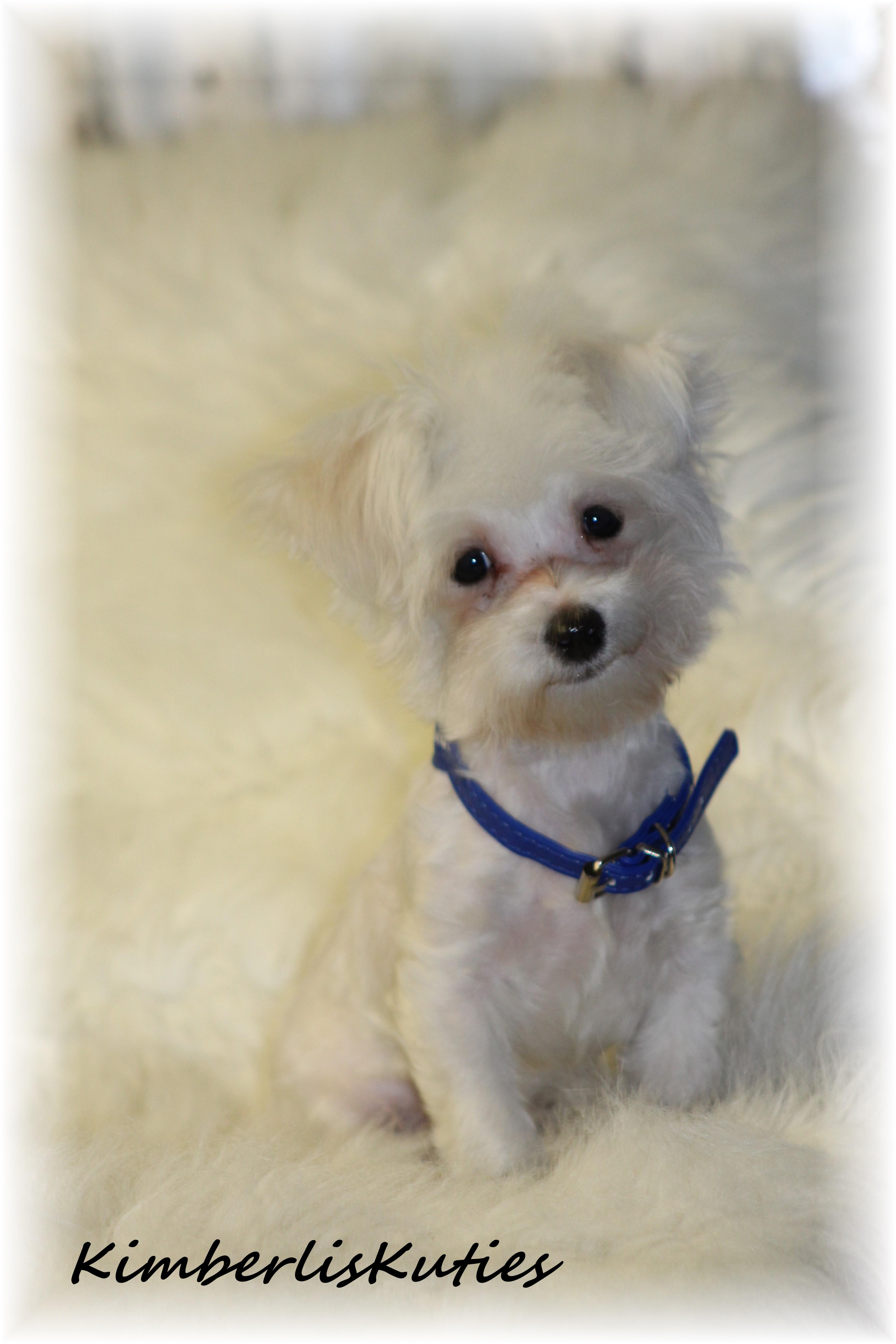 Yorkie biewer chinese imperial shih tzu scottish terrier click on image to enlarge nvjuhfo Image collections